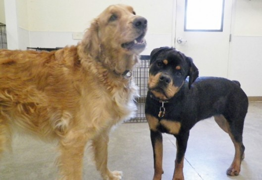 Oakley R Golden Retriever Wishes Evy J Rottweiler A Happy 1st